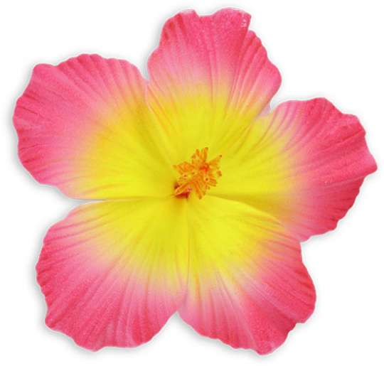 Pink yellow large hibiscus hawaiian flower hair clip shaka time pink yellow large hibiscus hawaiian flower hair clip mightylinksfo