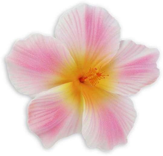 White Pink Large Hawaiian Hibiscus Flower Hair Clip Shaka Time
